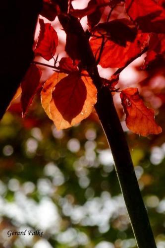 Gerard Falke - Herfst tegenlicht (4)